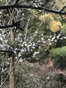 久良岐の梅